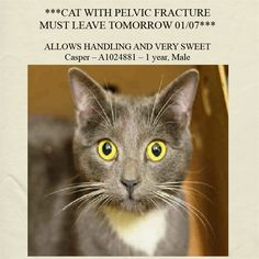 NYC **CAT WITH PELVIC FRACTURE MUST LEAVE TODAY 01/07**  AC&C NYC - Brooklyn Center. *The A# ACC gave is wrong, his ID is actually A1024880  Casper has a pelvic fracture. He is stable to stay the night, but must leave tomorrow and go to a local vet, as he is not stable enough to travel long distances.  Casper – A1024880 – 1 year, Male, Grey DSH, Stray  https://www.facebook.com/nycurgentcats/photos/a.283783928306268.74139.220724831278845/932401406777847/?type=1
