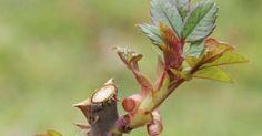Ha jól metszed a rózsát, rengeteg virág lesz rajta! Megmutatjuk, melyik rózsafajtát, hogyan kell metszeni! - Ketkes.com