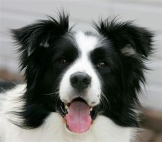 """Click visit site and Check out Cool """"Border Collie"""" T-shirts. This website is excellent. Tip: You can search """"your name"""" or """"your favorite shirts"""" at search bar on the top."""