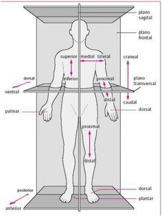 The body in situ anatomical correct position when studying anatomy. – Body Positivity - Agli The body in situ anatomical correct position when studying anatomy. Human Body Anatomy, Human Anatomy And Physiology, Muscle Anatomy, Medicine Notes, Sports Medicine, Medical Anatomy, Medical Coding, Medical Terminology, Massage Therapy
