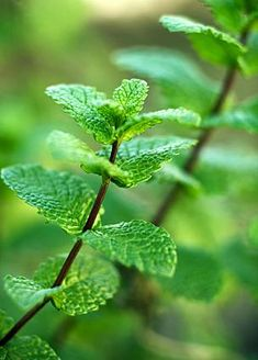 """Peppermint ~ safe for any age, soothing for the tummy, and calming to the nerves ~ a delight. Roman naturalist Pliny the Elder wrote of peppermint, """"The very smell of it alone recovers and refreshes the spirit."""" Peppermint oil may allay nausea and stomach aches, and peppermint has been called """"the world's oldest medicine."""""""