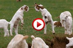 Goats yelling like humans Compilation Video #animals, #funny, #videos, https://facebook.com/apps/application.php?id=106186096099420