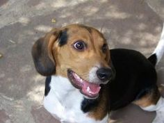 Bogie is an adoptable Beagle Dog in Sedalia, MO. Beautiful Young Beagle – Bogie COURTEST POSTING CALL THE NUMBER LISTED PLEASE. Located in Sedalia MO.  He was lucky to have John as his angel.  He w...