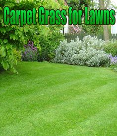 As you may have guessed from the name, offers good carpet-like coverage. It is a creeping grass and covers soil types many grasses do not do well with. This type of grass is also known for its coarse leaved blades... #lawn #lawncare #grass #CarpetGrass