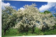 Canvas Prints of USH-1084 APPLE Blossom - In spring time from Ardea Wildlife Pets $64.95