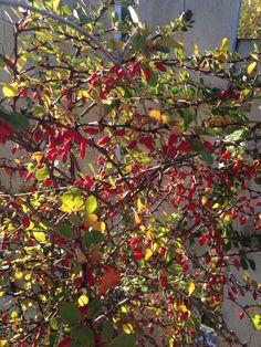 """Fall in my garden <3 """"Margeritten"""" by IJ 6.10.14"""