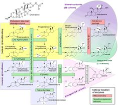 Cortisol - Wikipedia- : Hypoestrogenism and MELATONIN supplementation increase cortisol levels in postmenopausal ] CORTISOL increases Gastric Acid Secretion ; Cortisol, Reproductive System, Endocrine System, Congenital Adrenal Hyperplasia, Bioidentical Hormones, Estrogen Dominance, Hair Loss, Human Body, Science