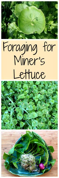 for Miner's Lettuce Miner's lettuce is an easy for forage for wild green that is tasty and nutritious!Miner's lettuce is an easy for forage for wild green that is tasty and nutritious! Healing Herbs, Medicinal Plants, Weed Plants, Herbal Plants, Edible Wild Plants, Survival Food, Survival Skills, Bushcraft Skills, Bushcraft Camping