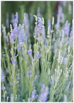 Should definitely plant lavendar  Lavender Garden | Camille Styles