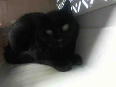 COLLIN - A1064473 - - Brooklyn Please Share: *** TO BE DESTROYED 02/10/16 *** PANTHER TRIO NEEDS HOMES TONIGHT!! SWEETIE, DEZA and COLLIN are more cats from a hoarding situation that have been listed over the past couple nights…..These three are all fixed and like their housemates are scared. They are cats that came from a home and will blossom again once they get over the shock of being wrenched away and separated from all they have known. Most of the cats have be