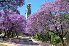 Pretoria, South Africa Do you remember the Jacarandas Kayla, Marcelle? Pretoria, Amazing Destinations, Holiday Destinations, Oh The Places You'll Go, Places Ive Been, South Africa Tours, Picture Tree, Africa Travel, Adventure Is Out There