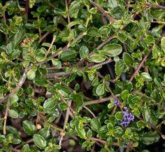 Types Of Jade Plants Plant Elephant Bush Beautiful