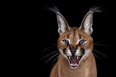 CARACAL.                         .    I Create Studio Portraits Of Exotic Animals Looking Directly Into The Camera | Bored Panda