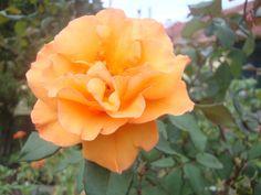 Los secretos de la poda de los rosales | Cuidar de tus plantas es facilisimo.com