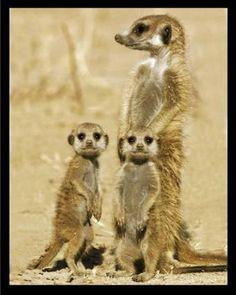 So cute, I love the meerkat