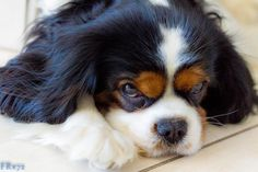 My Sweet Dog by Frederic Ritter on Cavalier King Charles spaniel Spaniel Breeds, Spaniel Puppies, Dog Breeds, King Charles Spaniel, Cavalier King Charles, Dog Competitions, Dog Life, Dogs, Sweet