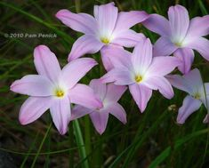 sugar-sweet rain lilies (Zephryanthes 'Labuffarosea')