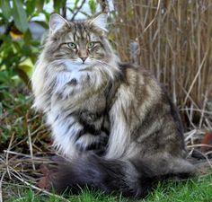 Resultado de imagem para gatos bosque da noruega tartaruga silver