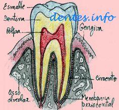 diagrama dos dentes definitivos inferiores