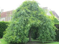 A weeping ash tree at the entrance to the orchard at Lytes Cary Manor, Somerset.