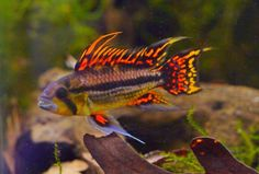 Dwarf Cichlids, like Apistogramma, are well suited for smaller aquariums. Apistogramma cacatuoids var quad-red
