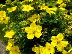 25 talajtakaró növény, melyekkel gyönyörűvé teheted a kertet! Low Growing Shrubs, Hardy Plants, Yellow Flowers, Long Blooming Perennials, Plant Roots, Plant Sale, Plants, Shrubs For Landscaping, Large Plants