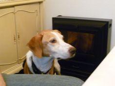 Lusi 2012 , #braque #st.germain # pointer #puppy #pet #haustier #love #family #member #trauer #regenbogen #rainbow