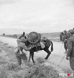 Lors de la campagne de Tunisie, au moment de la bataille du massif de l'Ousselat, des artilleurs du 67e RA (régiment d'artillerie d'Afrique) qui combattent au sein de la DMC (division de marche de Constantine), montent en ligne, équipés de canons de 65 mm de montagne modèle 1906. L'un d'eux est aux prises avec sa mule bâtée récalcitrante. Date : Avril 1943