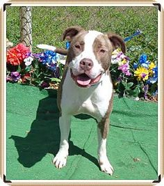 Marietta, GA - American Pit Bull Terrier Mix. Meet BLAZE, a dog for adoption. http://www.adoptapet.com/pet/12756578-marietta-georgia-american-pit-bull-terrier-mix