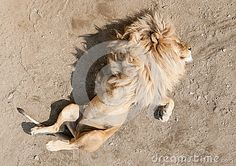 Lion sleeping on the back with paws in air