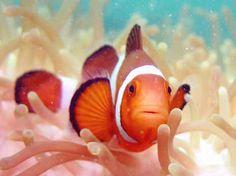 Clownfish    Nemo?