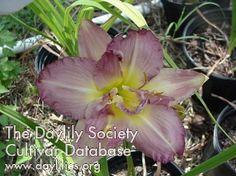 Daylily Almost Indecent