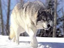 Bildergebnis für волк серый