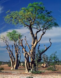 Moringa Trees, Haunted Forest, Etosha National Park, Africa Trees on large plain Filename: Copyright © Tom Till Haunted Forest, Tree Forest, Unique Trees, Tree Of Life, Natural Wonders, Belle Photo, Trees To Plant, Beautiful World, Nature