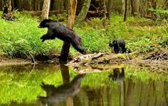 Bear's in the Smoky Mountains. #Smoky #Mountains #National #Park #Smokies #Tennessee #vacation #wildlife #Cades #Cove