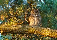 Great horned owl by Jen Joynt - at Tilden Regional Park.