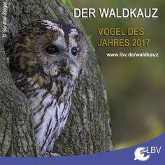 Jetzt können wir es endlich verraten: Der Vogel des Jahres 2017 ist - Der Waldkauz! Stellvertretend für alle Eulen und auch die Tiere der Nacht soll er für den Erhalt alter Bäume sensibilisieren denn genau die braucht er um seinen Bestand zu erhalten.  #waldkauz #brownowl #vogeldesjahres #vogeldesjahres2017 #vdj #vdj2017 #bayern #bavaria #natur #nature #naturschutz #natureconservation #owl #owls #eule #eulen #wald #forrest #tree #trees #oldtree