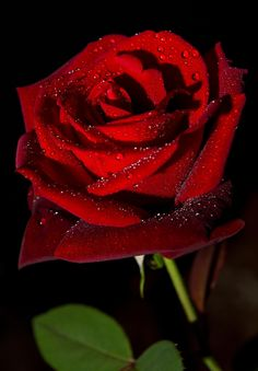 red rose with drops Beautiful Flowers Wallpapers, Beautiful Rose Flowers, Amazing Flowers, Pretty Flowers, Love Rose Flower, Rose Flower Pictures, Lavender Roses, Flower Wallpaper, Rose Buds