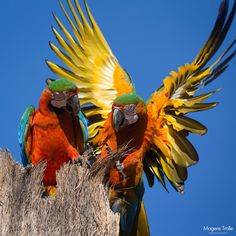 Explosion of colours - A rare wild couple of hybrid macaws, red-and-green with blue-and-yellow, on top of their nesting palm. Both of the original species are amongst the most colourful birds in the world, but the hybrids are even more extravagant. In particular when they open their wings you get an explosion of colours. From Brazil.