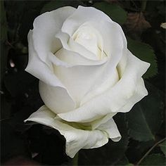 Get fresh, white roses in bulk quantities. Akito White Bulk Roses are our number selling white roses. Abundant with petals, its head blossoms into a dazzling Real Flowers, Amazing Flowers, Beautiful Roses, Beautiful Flowers, Rose Delivery, Flower Delivery Service, White Flower Pictures, Bulk Roses, Every Rose