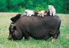 Kittens and a big, fat pig.