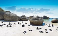 African Penguins on the beach, South Africa