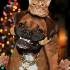 Doggy and kitty Animals And Pets, Funny Animals, Cute Animals, Crazy Cat Lady, Crazy Cats, I Love Cats, Cute Cats, Tier Fotos, Boxer Dogs