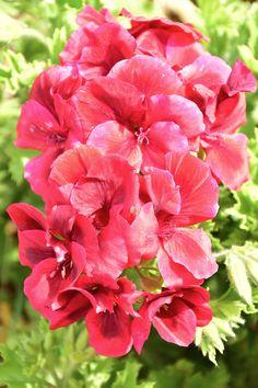 """Pelargonium """"Regalia"""""""