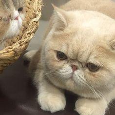 昨夜はテレビ出演できて 嬉しかった…かぁちゃんお疲れ様。 一生の思い出にしマッシュ。 #あの日 #借りてきた猫状態 #オトナ女子 #ちくわ #mashbook #mash1126a #cat #マッシュ #エキゾチックショートヘア #ねこ