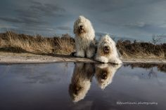 reflections - old English sheepdogs Megan and Jane