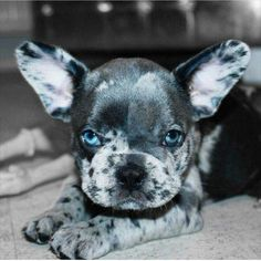 The major breeds of bulldogs are English bulldog, American bulldog, and French bulldog. The bulldog has a broad shoulder which matches with the head. Cute Puppies, Cute Dogs, Dogs And Puppies, Doggies, Terrier Puppies, Boston Terrier, Beautiful Dogs, Animals Beautiful, Cute Baby Animals