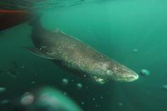 Geboren um 1624: Gröndlandhai ist der älteste Hai der Welt  Oldest shark in the world  Tauchen Diving Marine biology Meeresbiologie