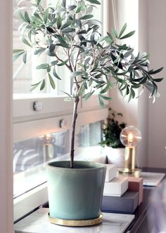 Indoor Gardening How to plant take care of an indoor olive tree - Given the current craze for houseplants, it's hard to imagine there's any un-trod territory there, and yet — I was totally surprised to realize that you can grow an olive tree inside Interior Plants, Interior And Exterior, Tree Interior, Indoor Olive Tree, Potted Olive Tree, Dwarf Olive Tree, Deco Nature, Window Sill, Window Plants