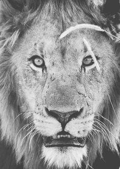 Lion Eyes Art Print Lion Eyes, Eye Art, African, Art Prints, Interior, Animals, Collection, Art Impressions, Animales